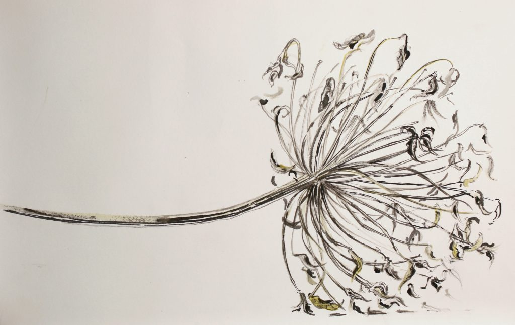 Ink drawing of an agapanthus flower