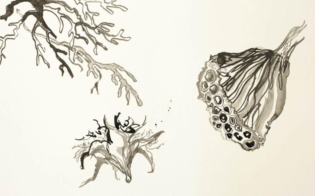 Ink drawing of a lotus seeded and seaweed fronds