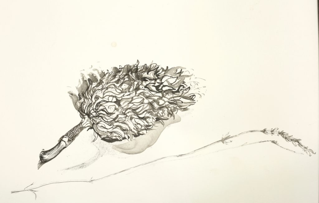 Ink drawing of a magnolia seeded and lavender flower
