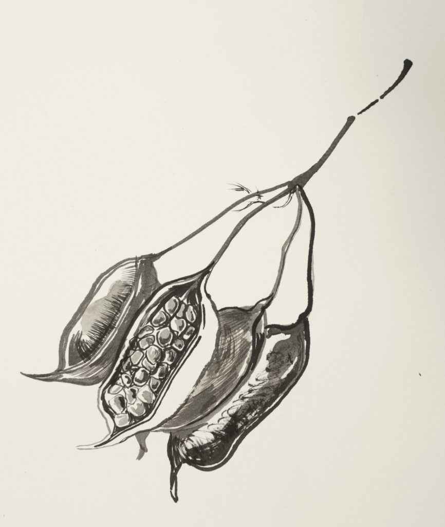 Ink drawing of a seedpod